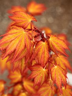 Acer palmatum 'Akane - Golden-orange spring leaves glow on red petioles and…