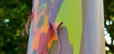 Get to know the rainbow eucalyptus tree