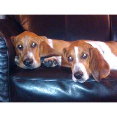 Can't imagine having 2 Bassett's = Double Trouble. The one on the right sure reminds me of Nipper.