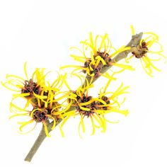 What is Witch Hazel? Here you will find a list of Witch Hazel uses that will benefit you in many different aspects of your life. What Is Witch Hazel, Witch Hazel Uses, Witch Hazel For Skin, Clear Skin Face, Face Skin, Skin Care Masks, Beauty Soap, Anti Aging Treatments, Ingrown Hair