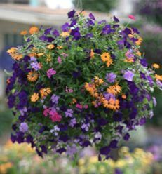 "Container recipe: 3-Orange Symphony  {Osteospermum hybrid}; 3-Supertunia® Royal Velvet {Petunia hybrid}; 3-Superbena® Large Lilac Blue {Verbena hybrid}. All plants=4.5""; Plant in 10"" pot, place in the sun"