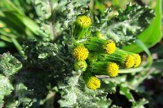 xenixell, hierba cana