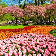Tulipas + cerejeiras no parque Keukenhof! Tulips and cherry blossom at Keukenhof Park, Holland #loucosporviagem
