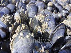 Miesmuscheln, Bretagne 2011  Postkarte