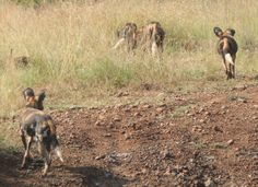 Wild dog heading off on their way down the escarpment at Loisaba Wilderness, Laikipia, Kenya.  22.7.12    https://www.facebook.com/media/set/?set=a.10151341016480008.813729.10150107915730008=3