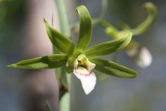 Eulophia euglossa
