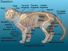 Glendale Animal Hospital - Veterinarian in Glendale, AZ USA :: Cat Anatomy Glendale Animal Hospital - Veterinarian in Glendale, AZ USA anatomy Cat Skeleton, Skeleton Anatomy, Dog Anatomy, Animal Anatomy, Animal Skeletons, Animal Medicine, Cat Reference, Vet Med, Animal Science