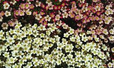 Bilde av HAGESILDRE Sedum, Planters, Plants, Garden