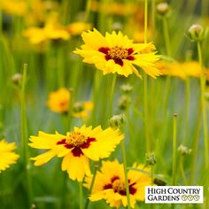 Coreopsis lanceolata Sterntaler | Coreopsis lanceolata Sterntaler | Low Water Plants, Eco Friendly Landscapes | High Country Gardens
