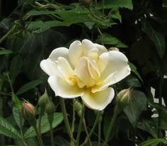Rosa Lykkefund