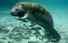 Pictured here is a manatee at the Three Sisters Springs in Crystal River National Wildlife Refuge Complex. Manatee Florida, Chiefland Florida, Florida Travel, Central Florida, Sea Cow, Crystal River, Fauna, Endangered Species, Marine Life