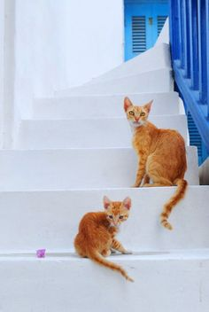 Cats of Mykonos, Greece