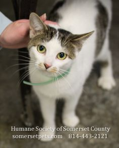 PA...Nala was brought to the shelter with her friend Peanut; they were stray cats. Nala is friendly to other animals and also children. We think she is about a year old. Nala is well mannered and she is litter trained. She is hoping to find a home soon.