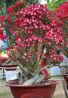 On The Net Landscape Design And Style - The New On-line Tool That Designers Are Flocking To For Landscape Designs Adenium. Cacti And Succulents, Potted Plants, Desert Rose Plant, Dwarf Fruit Trees, Bonsai Seeds, Sunflower Wallpaper, Planting Roses, Container Flowers, My Secret Garden