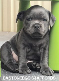 1000 Ideas About Staffordshire Bull Terrier Breeders On Pinterest Staffordshire Bull Terrier Breeders Animals Beautiful Staffordshire Bull Terrier