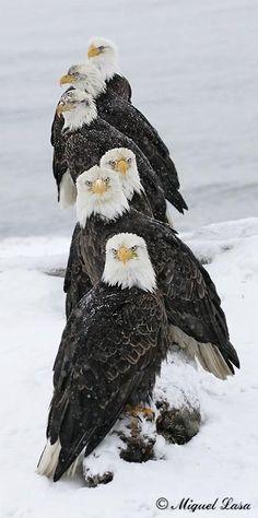 Alasks  pose de aguilas calvas americanas salvajes , un saludo a todos - by Miguel Lasa