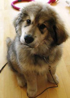 Most Inspiring Tibetan Mastiff Chubby Adorable Dog - d2eb48bfabb5396d9460c8bdbc4f2585--cutest-dogs-adorable-puppies  2018_2661  .jpg