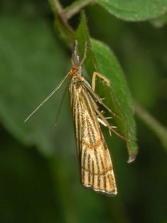 https://flic.kr/p/dDDCb6   Crambidae - Chrysocrambus craterellus   Crambidae - Chrysocrambus craterellus