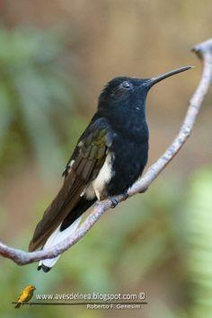 Aves del Nea: Beija-flor-preto (Black-Jacobim) Florisuga fusca #argentina