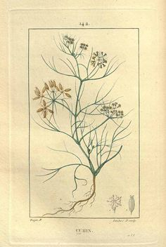 馬芹、クミン セリ科 Cuminum cyminum (Cumin), Chaumeton (1830)