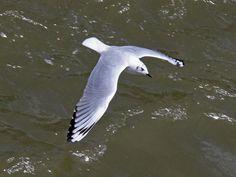 Andean Gull (Chroicocephalus serranus) by SacredValley.