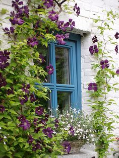 Purple clematis and white flowers in a little blue window Clematis Vine, Purple Clematis, Cottage Windows, Raindrops And Roses, Flower Window, Exterior, Window View, Flowering Vines, Through The Window