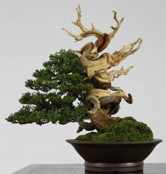 Bonsai with deadwood embedded into the style