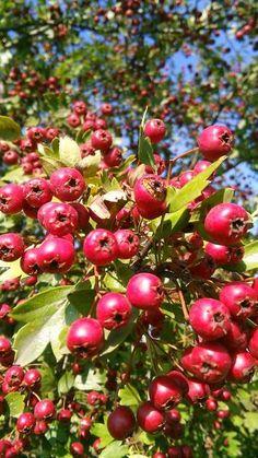 Stromy a keře   Bylinky pro radost - Part 2