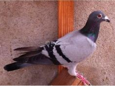 Racing Homer Pigeon sale Chennai - Dog Buy & Sale Pigeons For Sale, Chennai, Racing, Dogs, Animals, Running, Animales, Animaux, Auto Racing