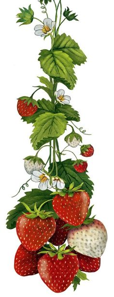 Summer Strawberries (Mary Lake Thompson)