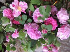 roses from the garden at Ca' delle Rose - www.cadellerose.org