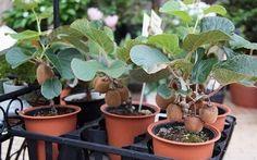 Vypestujte si kiwi u vás doma. Je to jednoduché ako klasické pestovanie rastlín. Tu je moje tajomstvo | Báječné Ženy