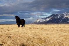 Icelandic horse (íslenskir hestar)