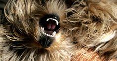 Tratamiento para enfermedad periodontal en perros. La enfermedad periodontal es una inflamación de los tejidos y soportes de las estructuras de los dientes que puede llevar a la pérdida de los dientes. Los cachorros de raza que tienen muchos dientes son especialmente susceptibles, como los perros que se limpian frecuentemente, ya que su pelo se mete entre los dientes y las encías. La enfermedad ...
