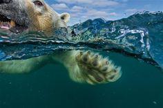 Un oso polar nada hacia la costa en la Bahía de Hudson, Canadá