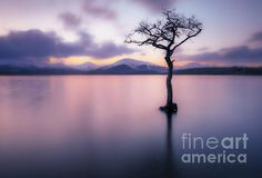 Sunset Milarrochy Bay tree - Sunset at One lone tree in Milarrochy Bay Loch Lomond and the Trossachs National Park near Balmaha Stirling Scotland UK GB Europe Loch Lomond Scotland, Scotland Uk, Stirling Scotland, Lone Tree, Cool Artwork, Dusk, Beautiful Images, Art For Sale, Fine Art America