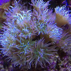 I love duncans  #coral #reeftank #coralreeftank #reef #reefpack #reef2reef #reefcandy #reefersdaily #reefrEVOLution #coralreef #coraladdict #reefaholiks #reefjunkie #reeflife #instareef  #allmymoneygoestocoral #instareef  #reefpackworldwide