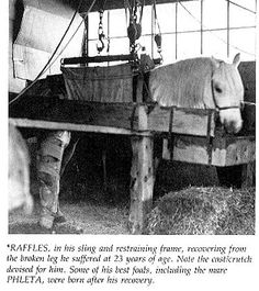 Raffles at age 23, recovering from a broken leg.He broke the leg in 1950, when kicking his stall. He recovered and shortly thereafter was purchased by Alice Payne for her Asil Ranch in Chino, California, where he was stalled next to another Skowronek son, Raseyn, whom Payne had obtained from the Kellogg ranch in his old age. Raffles died on May 11, 1953.