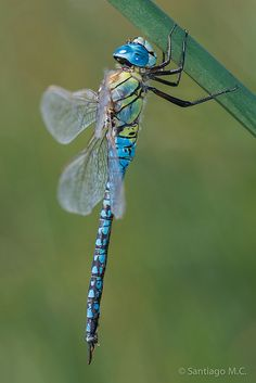 A male Aeshna affinis, the Southern migrant Hawker or Blue-eyed Hawker