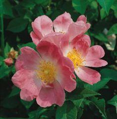 R. Rubiginosa (In Pot)  Doorbloeiende wilde roos met enkele roze bloemen. Blad en bloem geuren naar appeltjes, in de herfst verschijnen oranje bottels. bloeitijd: Mei, Juni, Juli, Augustus, September hoogte: 250 cm