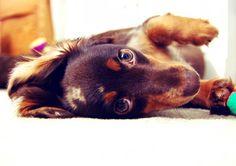 chocolate longhair dachshund wienerdog dapple doxie