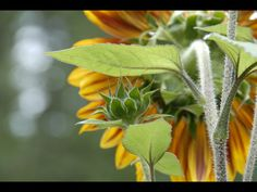 Sunflower photo by eve