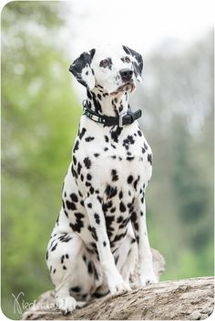 Hunde The Animals, Big Dogs, Cute Dogs, Dogs And Puppies, Doggies, American Staffordshire Terrier, Airedale Terrier, Dalmatian Dogs, Rottweiler Dog