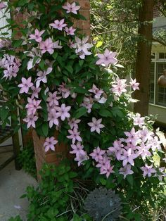 need know growing clematis garden 04 All You Need To Know About Growing Clematis in Your Garden!