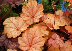 Heuchera 'Vienna' - Heuchera 'Vienna' is a bastion of artful traits; Beautiful Flowers, Heuchera, Coral Bells Heuchera, Plants, Garden Plants, Flowers, Foliage Plants, Coral Bells, Plant Leaves