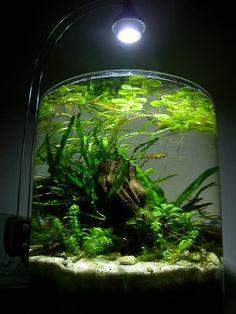 shrimp jar aquarium - Google Search
