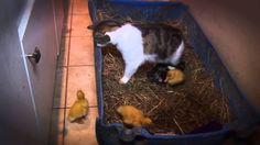 Un chat s'occupe de canard comme s'ils étaient ses chatons