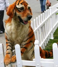 hahaha...do people really paint their dogs to look like tigers, zebras, etc.  Too Funny!!