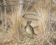 BOWER BIRD: This is a very artistic nest with beautiful aesthetics, that the male built to lure a mate. He even decorated it with colorful items.