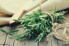 Le romarin, bienfaits et utilisations - Herbio'tiful